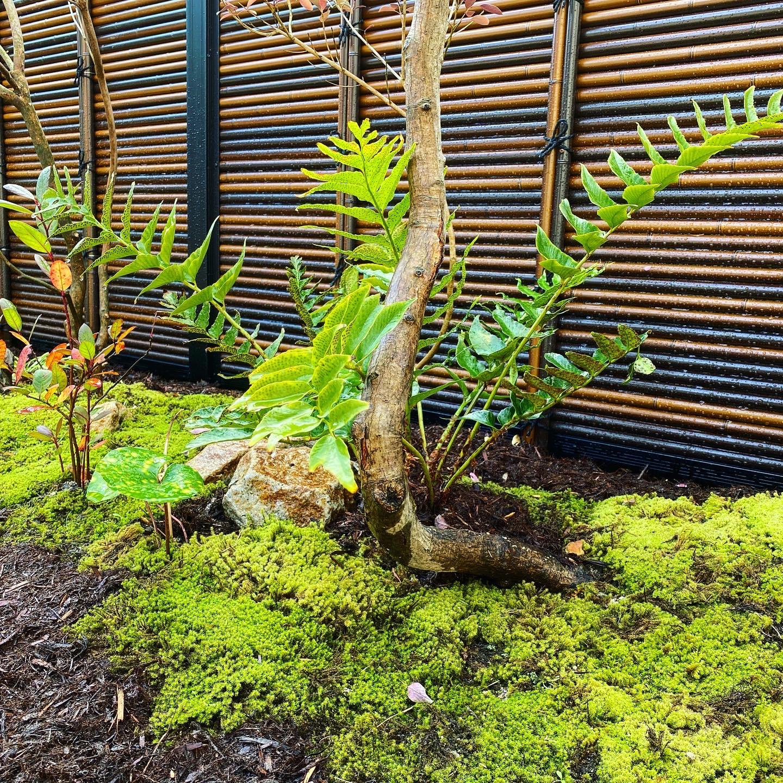 山取のコハウチワカエデの幹とシダ